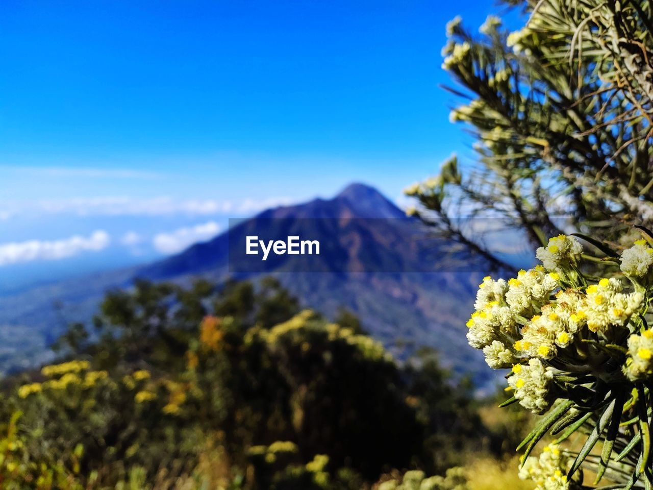 CLOSE-UP OF FLOWERING PLANTS AGAINST MOUNTAIN