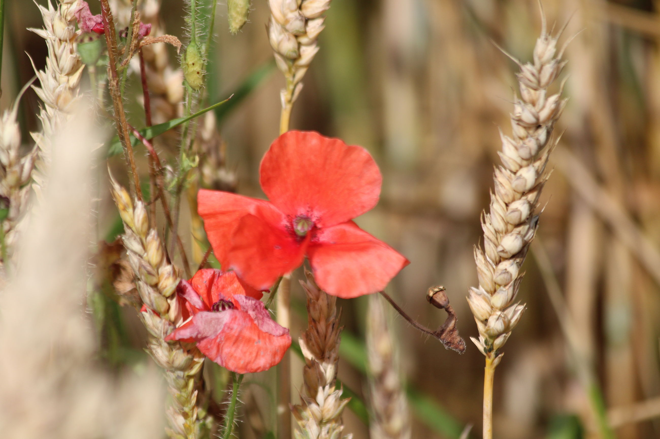 Red poppies and crops growing on field