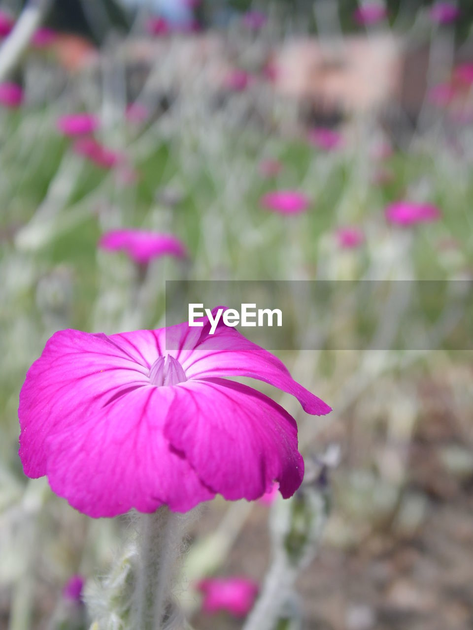 flower, pink color, fragility, petal, focus on foreground, growth, flower head, beauty in nature, blooming, nature, freshness, plant, outdoors, day, close-up, purple, no people, petunia, eastern purple coneflower, periwinkle
