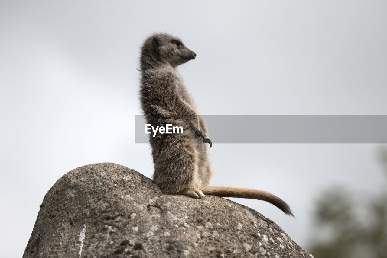 Low angle view of meerkat on rock against clear sky