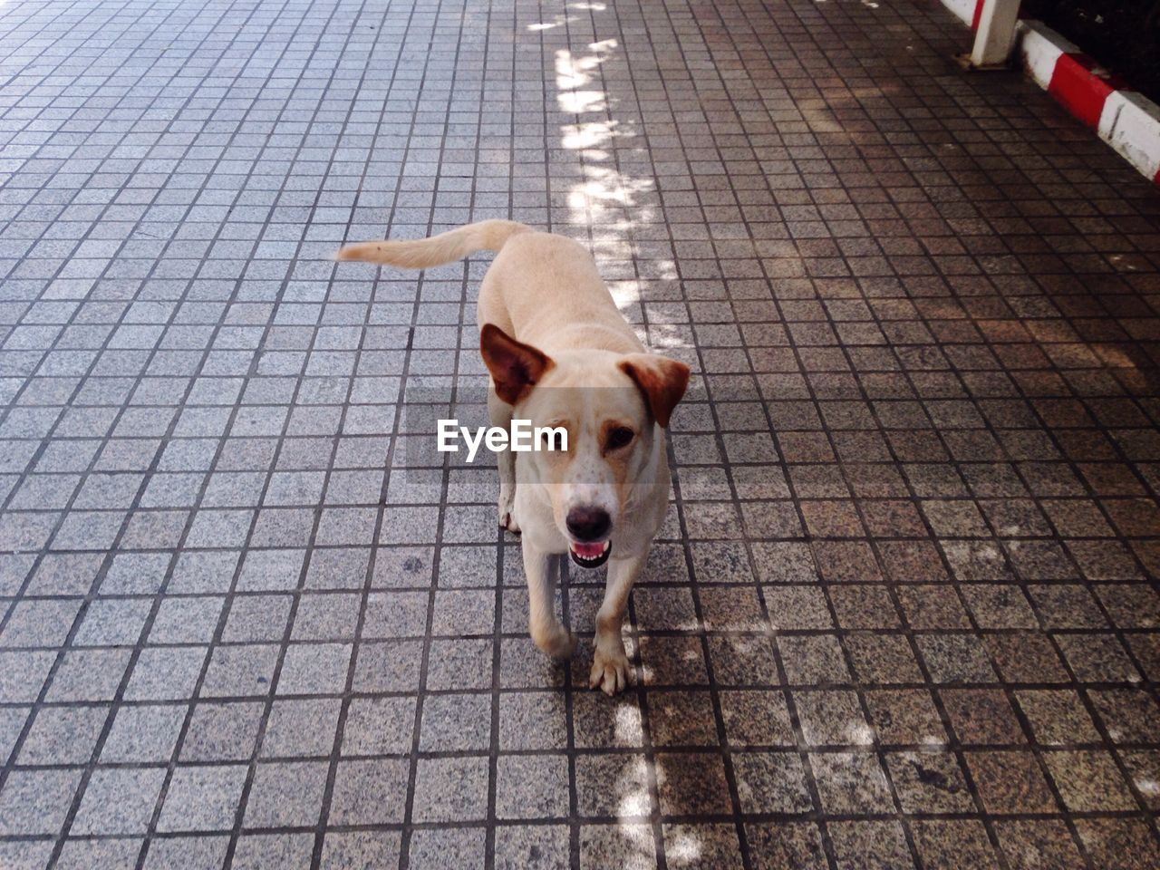 High Angle Portrait Of Dog Standing On Sidewalk