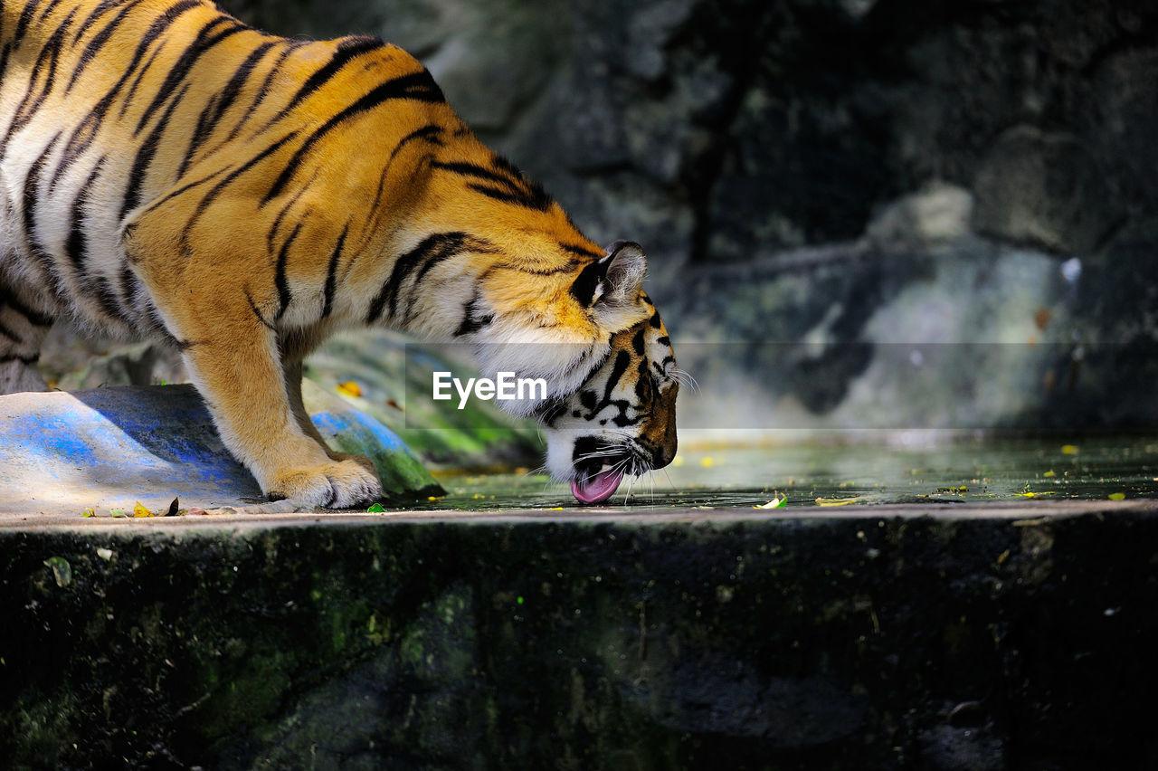 Tiger Licking On Retaining Wall At Zoo
