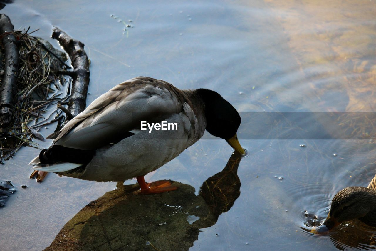 High Angle View Of Mallard Duck At Lake