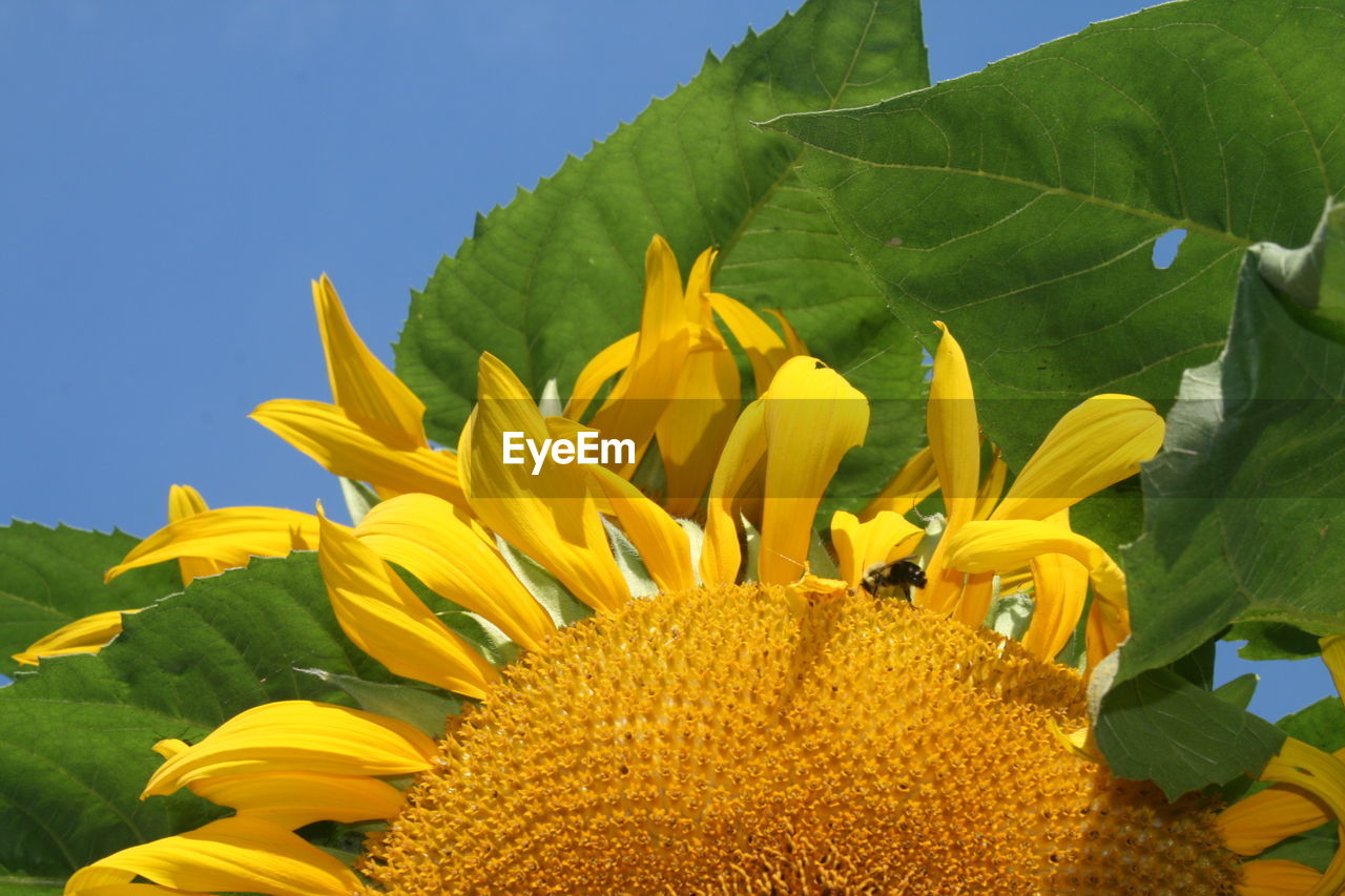 plant, flowering plant, flower, yellow, growth, flower head, freshness, beauty in nature, vulnerability, petal, fragility, close-up, sunflower, inflorescence, plant part, leaf, nature, no people, green color, day, pollen