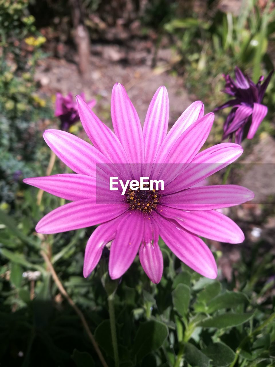 flower, petal, fragility, flower head, growth, nature, freshness, focus on foreground, blooming, plant, pink color, beauty in nature, day, outdoors, purple, pollen, no people, close-up, osteospermum, eastern purple coneflower