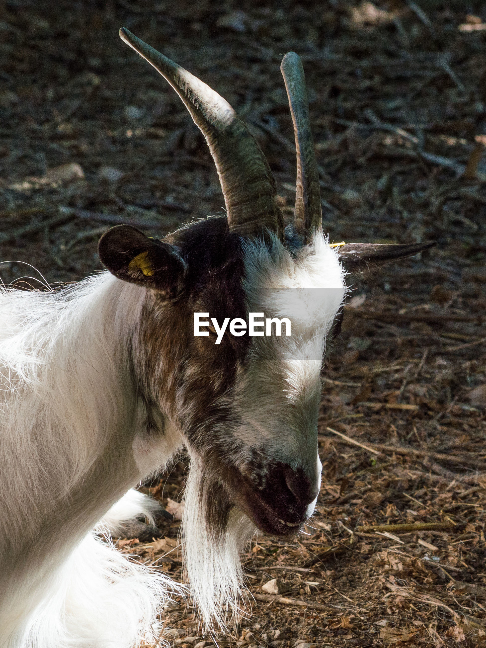 Portrait of goat with white beard, image of goat