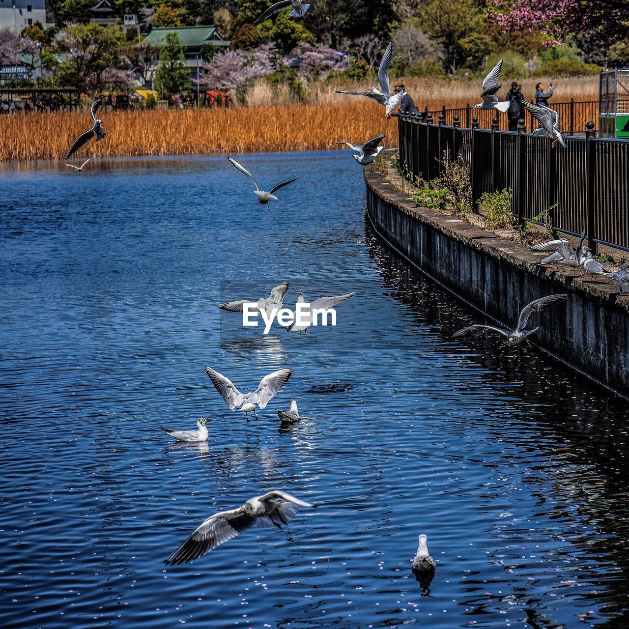 VIEW OF SEAGULLS SWIMMING IN LAKE