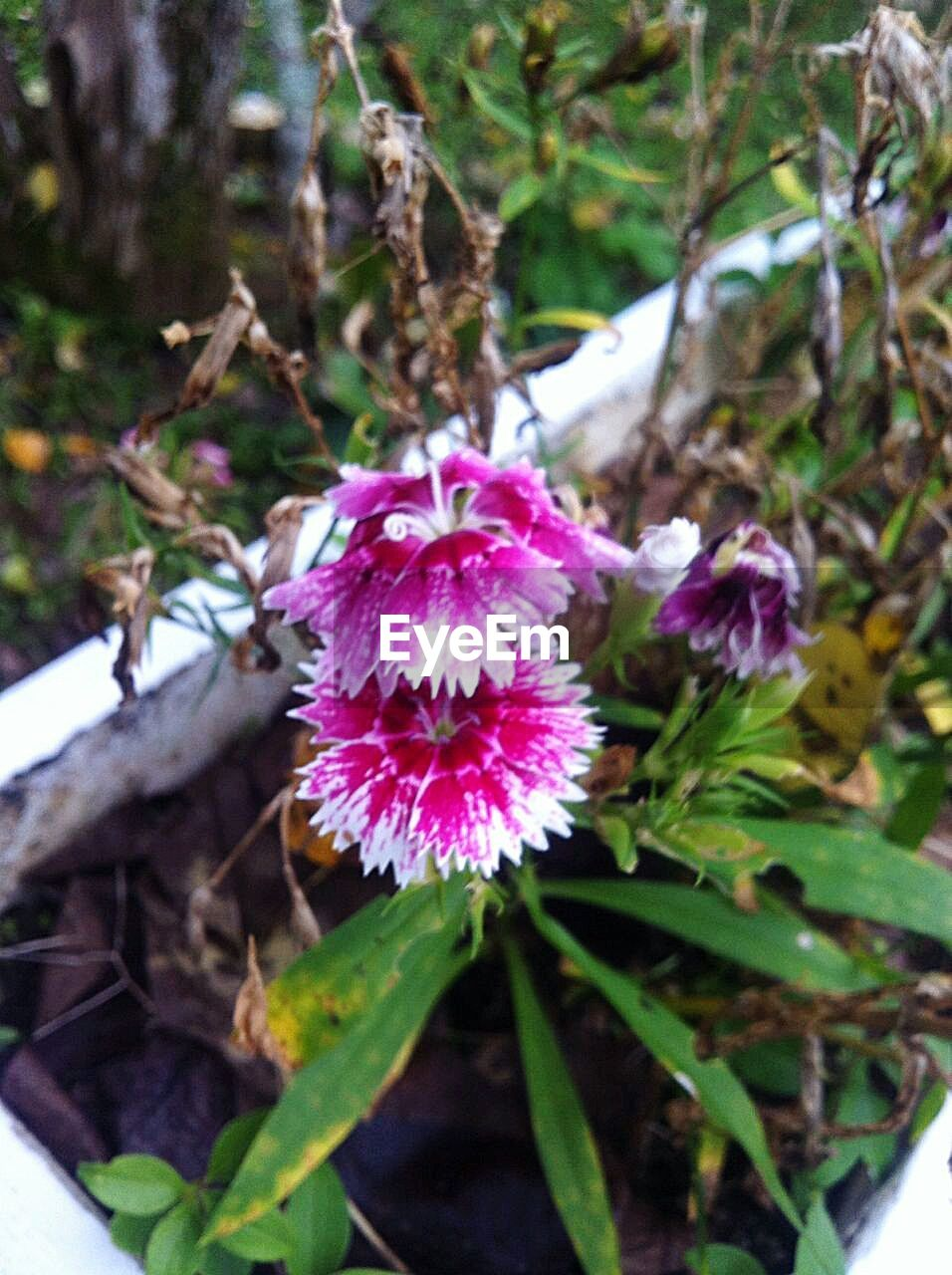 flower, growth, nature, pink color, fragility, focus on foreground, beauty in nature, day, petal, no people, plant, purple, outdoors, flower head, freshness, close-up, leaf, blooming, passion flower