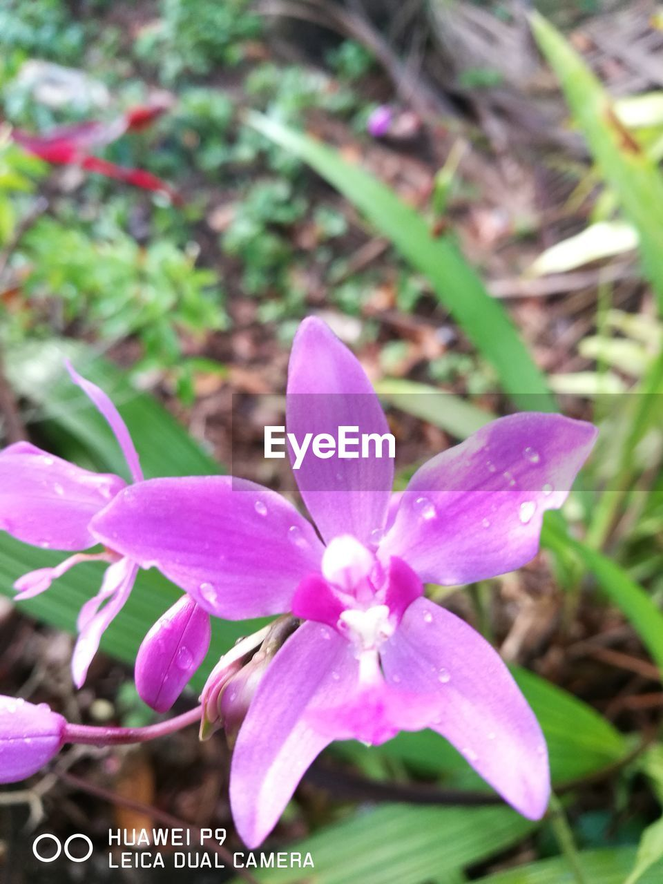 growth, flower, petal, fragility, nature, beauty in nature, freshness, day, plant, close-up, outdoors, no people, flower head, blooming, periwinkle