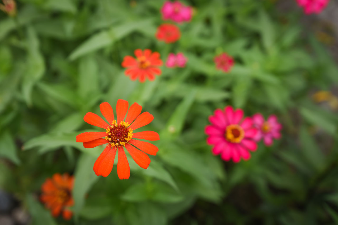 Close-Up Of Pink And Orange Flowers