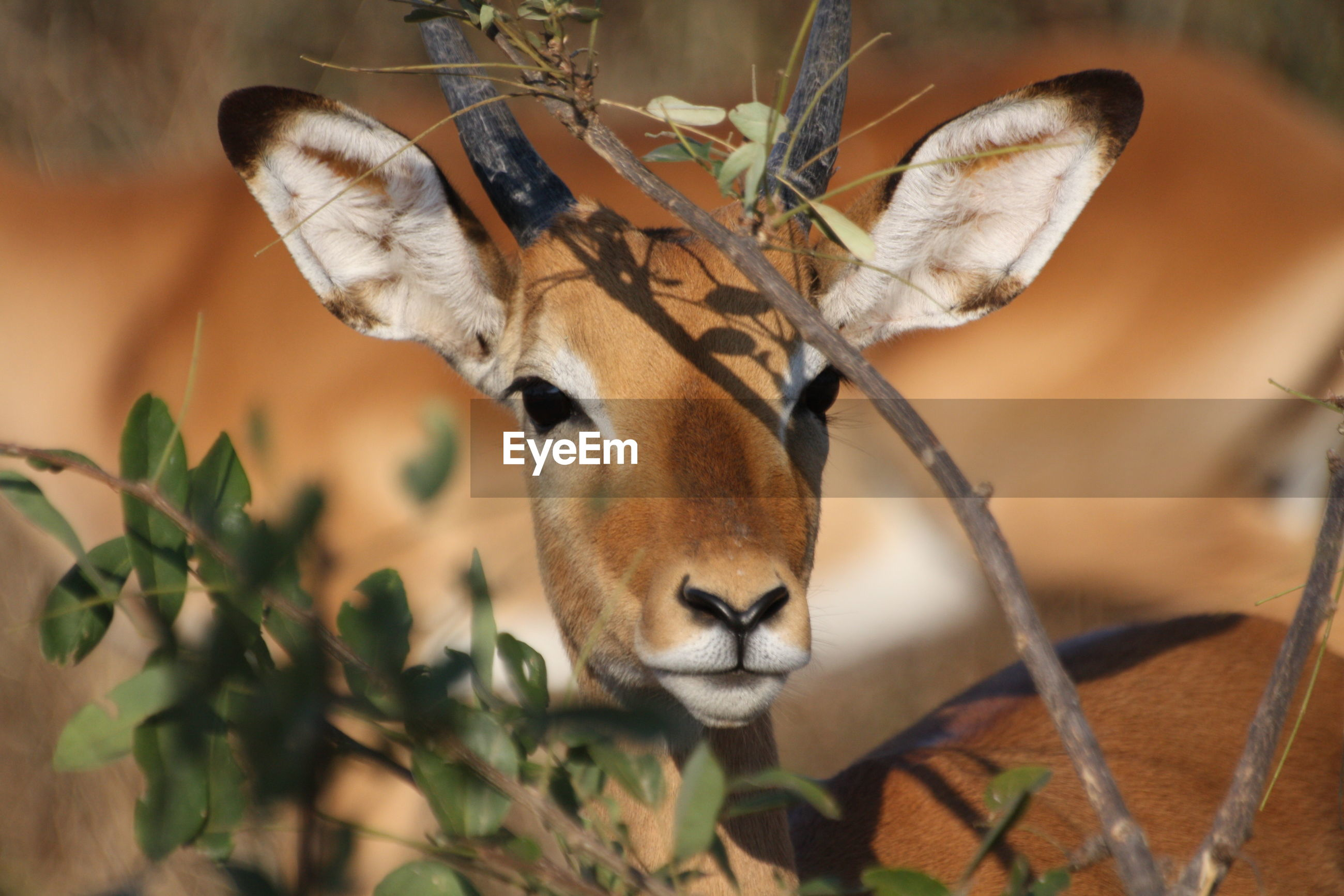 Close-up of impala by plant