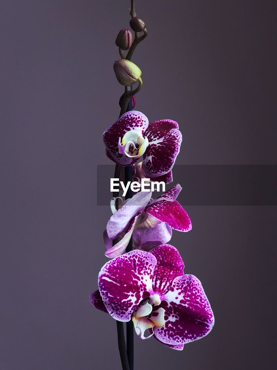 studio shot, indoors, close-up, copy space, plant, no people, flowering plant, freshness, flower, purple, nature, vulnerability, fragility, beauty in nature, growth, cut out, healthy eating, still life, food, food and drink, black background, flower head