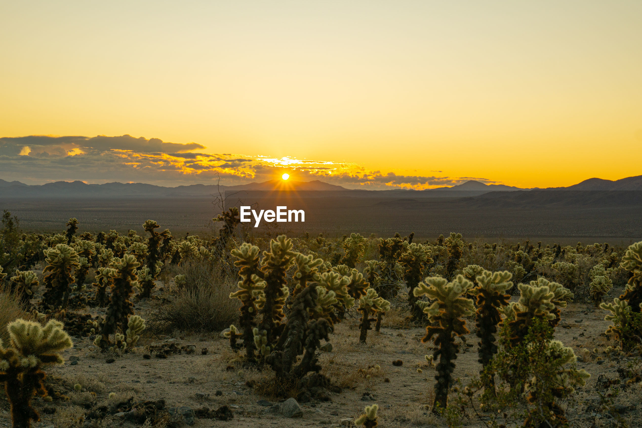 Scenic view of cactus field against sky during sunrise