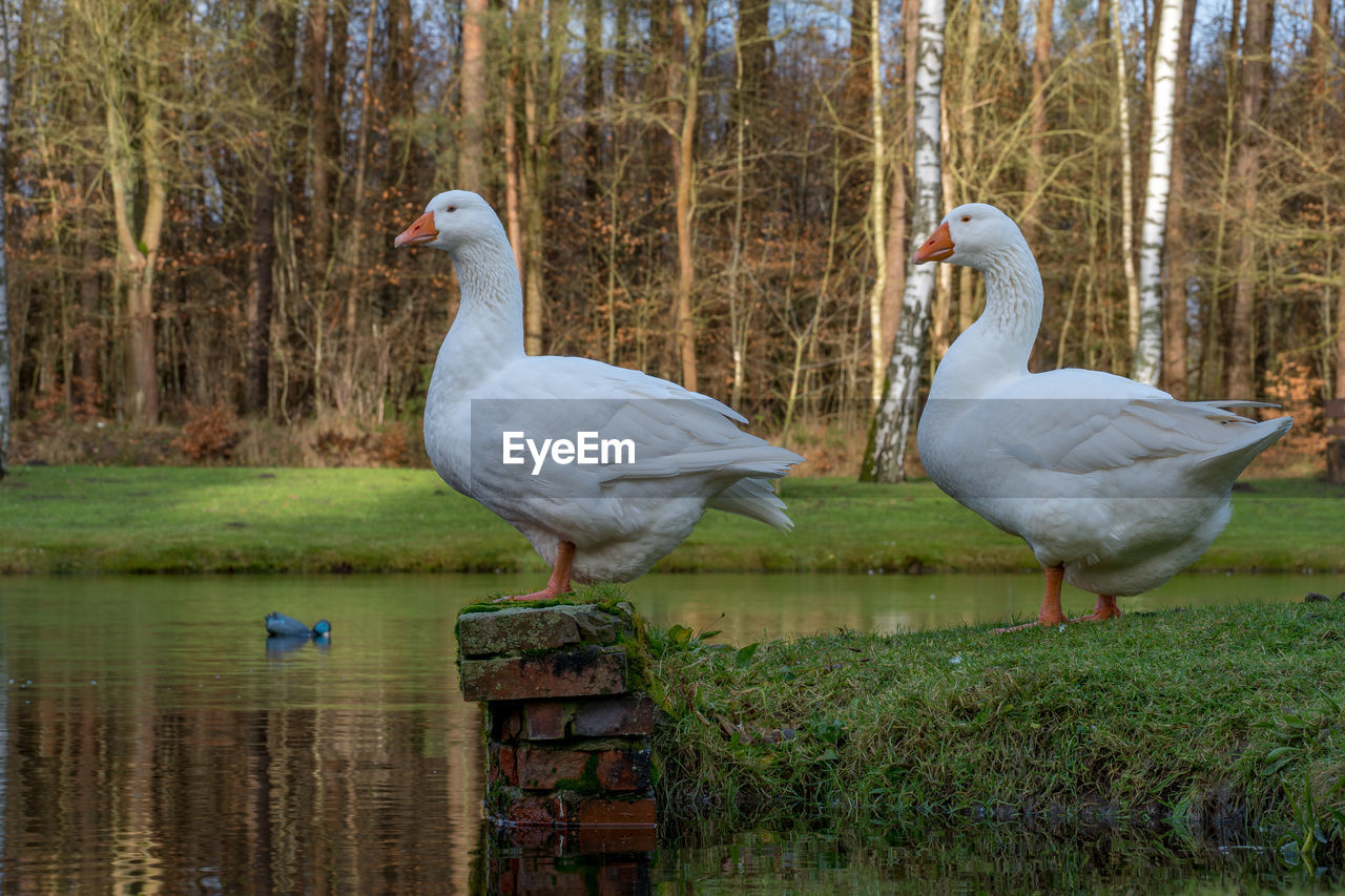 animal themes, bird, animal, vertebrate, animals in the wild, animal wildlife, group of animals, water, lake, tree, nature, plant, day, land, two animals, no people, water bird, goose, forest, animal family