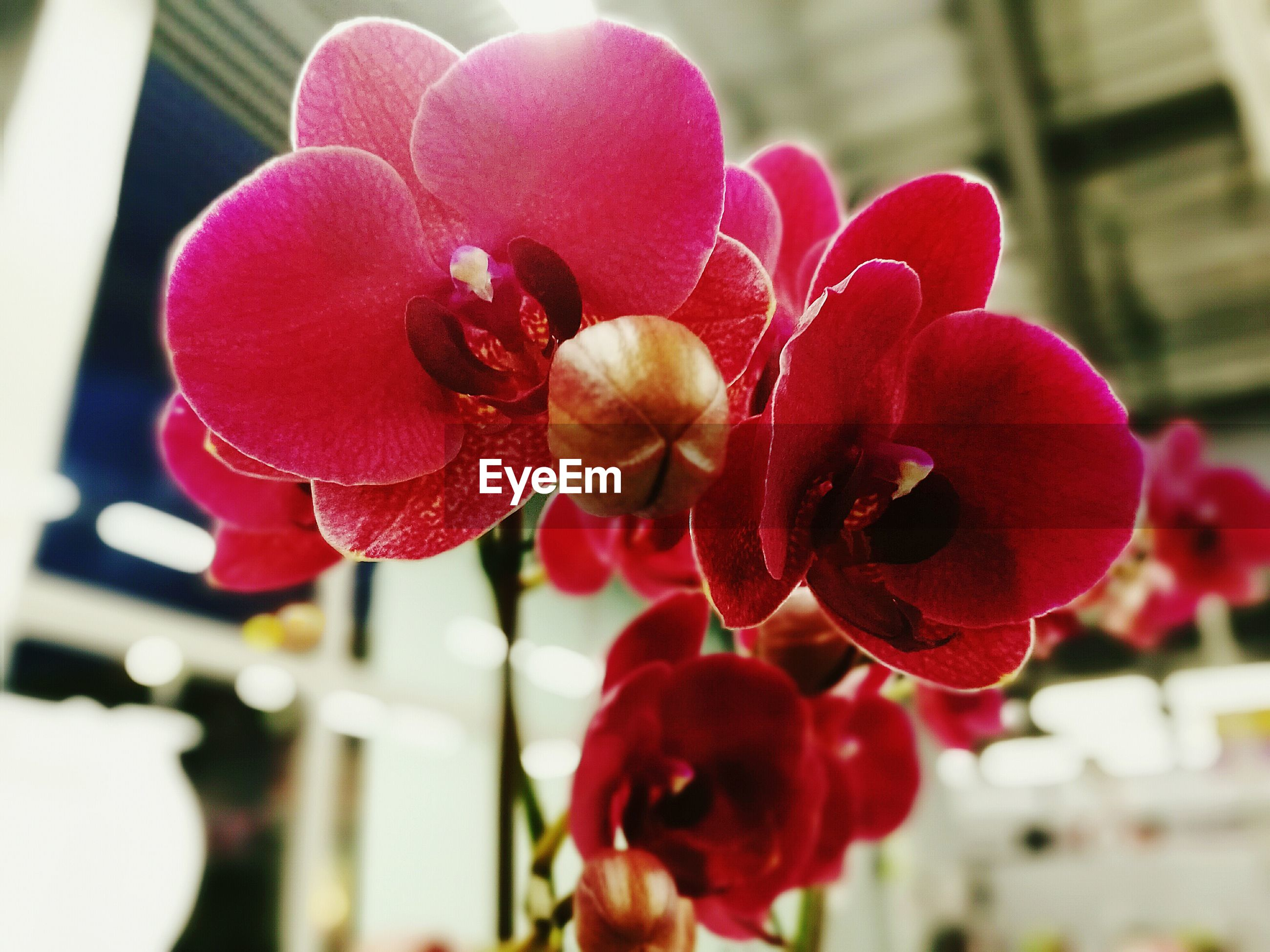 flower, focus on foreground, petal, red, fragility, freshness, flower head, close-up, beauty in nature, blooming, growth, nature, plant, day, indoors, no people, in bloom, bud, selective focus