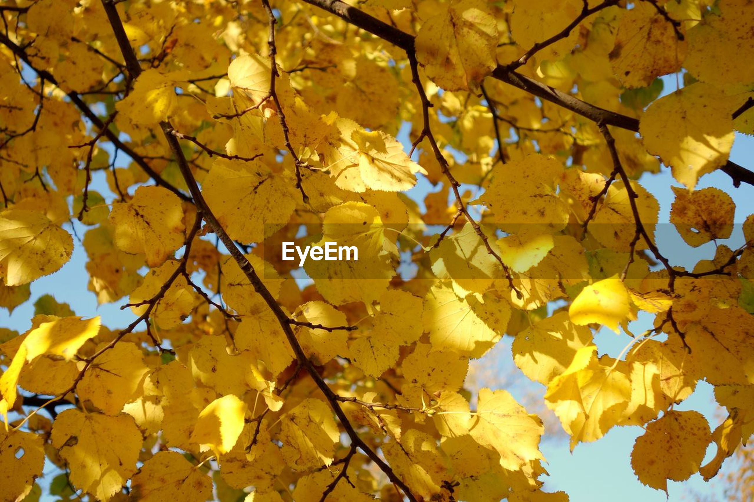 Close-up of yellow leaves of tree