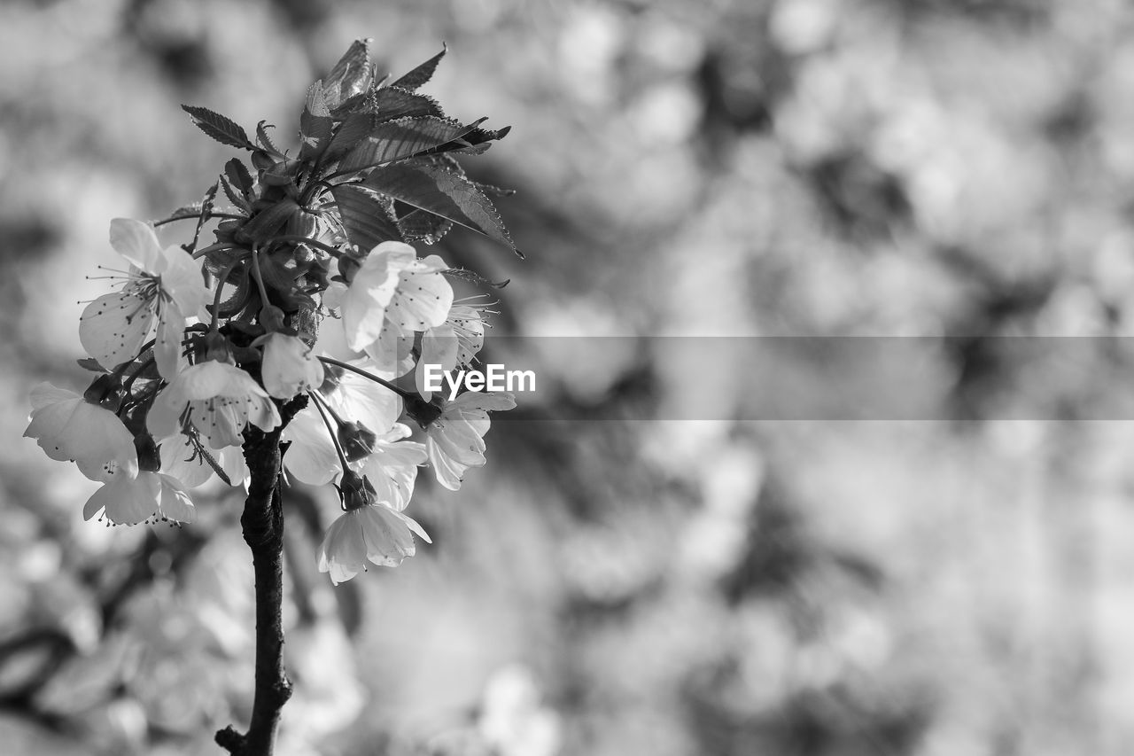 flower, plant, flowering plant, fragility, vulnerability, growth, beauty in nature, focus on foreground, close-up, freshness, petal, day, nature, no people, flower head, inflorescence, springtime, outdoors, blossom, botany, pollen, cherry blossom