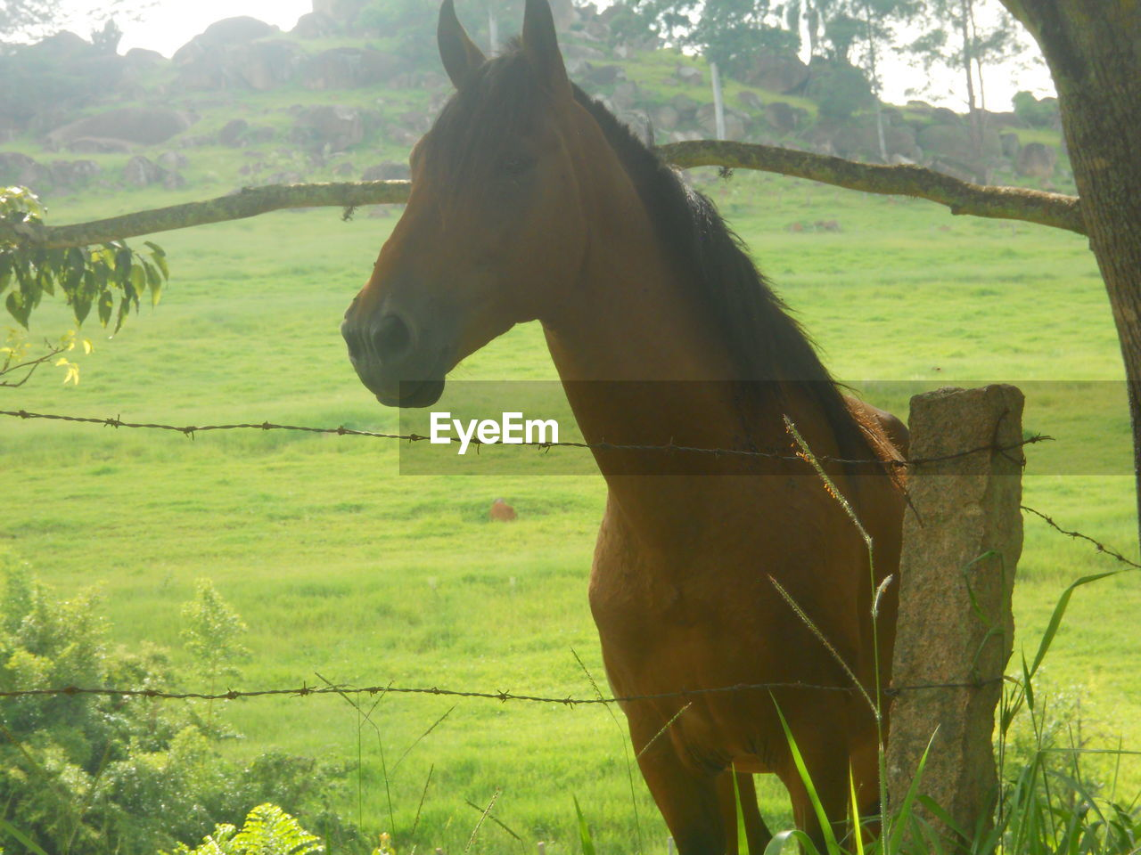 horse, field, mammal, domestic animals, one animal, animal themes, tree, grass, no people, landscape, nature, day, outdoors