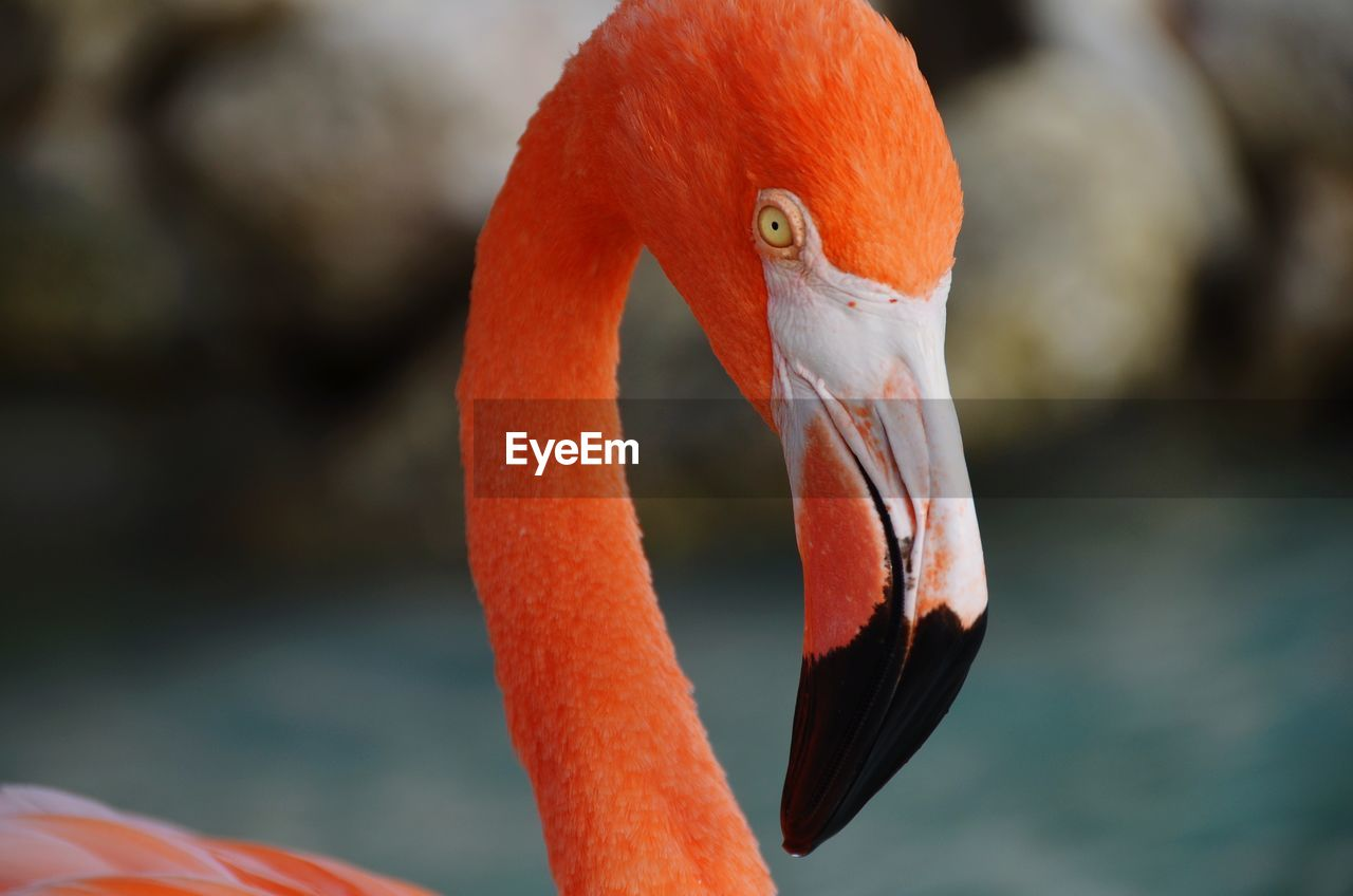 animal themes, animal wildlife, animals in the wild, animal, vertebrate, one animal, bird, focus on foreground, orange color, close-up, beak, flamingo, no people, animal body part, day, nature, outdoors, animal neck, water, zoology, animal head, freshwater bird, animal eye