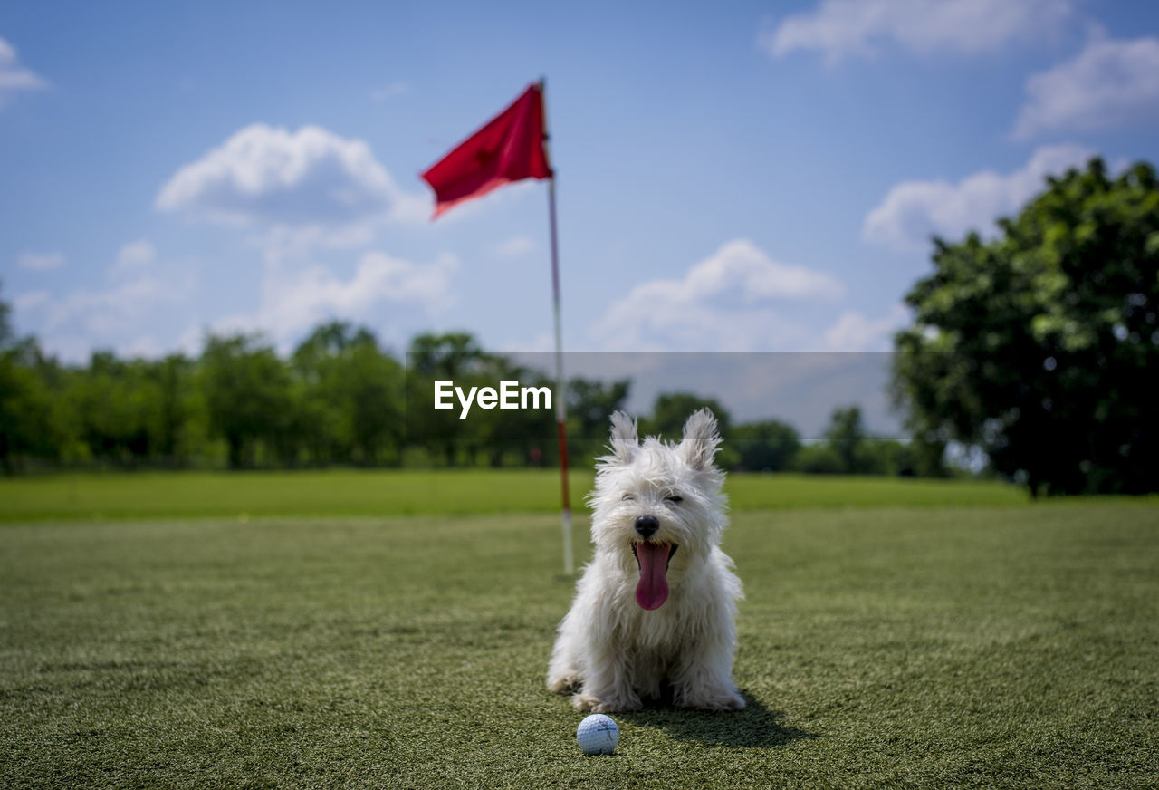 West Highland White Terrier Sitting With Golf Ball On Field