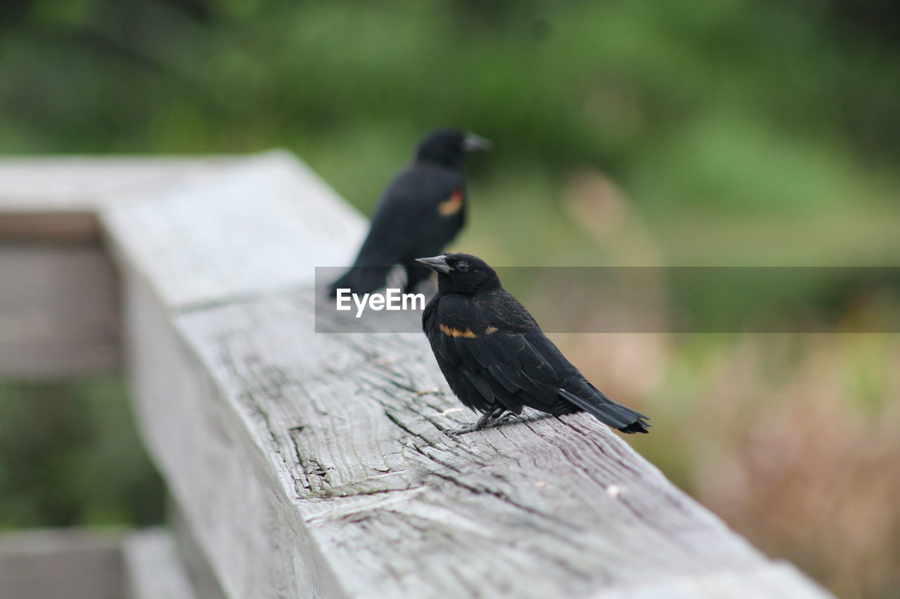 animal wildlife, animals in the wild, animal themes, animal, wood - material, bird, vertebrate, black color, one animal, perching, selective focus, day, no people, focus on foreground, nature, outdoors, close-up, railing, full length, blackbird