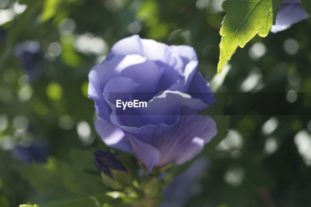 plant, flowering plant, beauty in nature, growth, vulnerability, flower, fragility, petal, freshness, close-up, nature, inflorescence, flower head, focus on foreground, no people, day, outdoors, purple, leaf, plant part