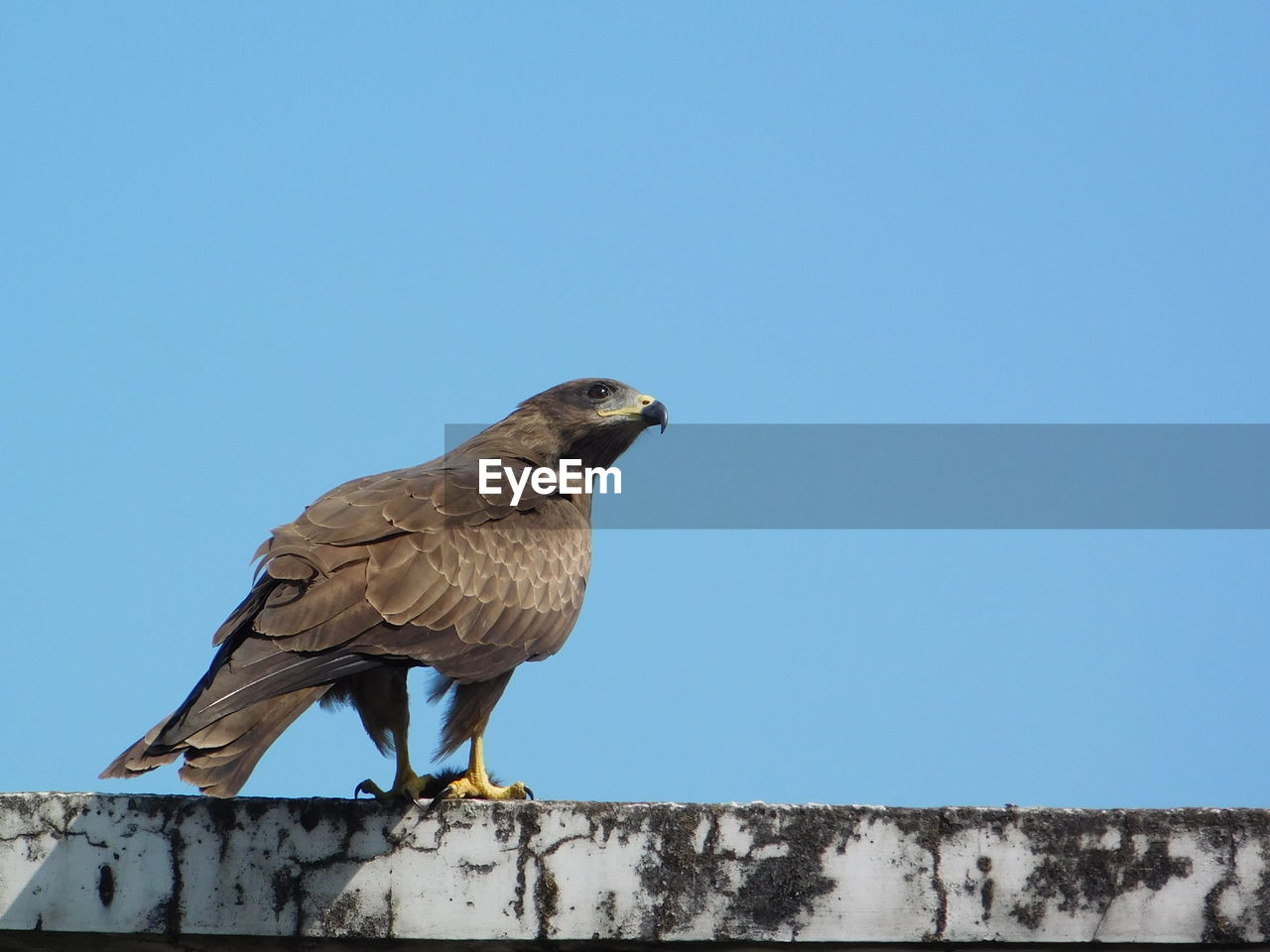 bird, sky, animal themes, animal, animal wildlife, vertebrate, copy space, clear sky, one animal, animals in the wild, perching, low angle view, day, bird of prey, blue, nature, no people, outdoors, wall, eagle