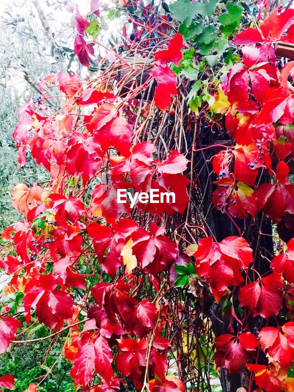 red, leaf, growth, nature, flower, beauty in nature, outdoors, fragility, plant, day, no people, autumn, petal, maple leaf, full frame, freshness, backgrounds, close-up, flower head
