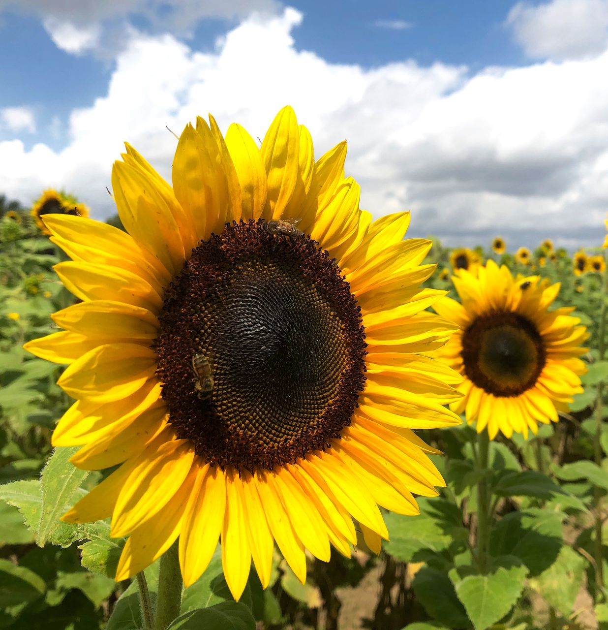 flower, flowering plant, yellow, flower head, petal, plant, sunflower, beauty in nature, inflorescence, fragility, freshness, growth, vulnerability, pollen, nature, close-up, sky, cloud - sky, day, invertebrate, no people, outdoors, pollination