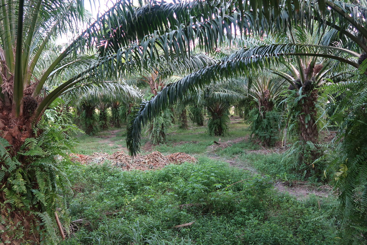 plant, growth, tree, green color, palm tree, nature, tranquility, tropical climate, land, beauty in nature, no people, day, forest, tranquil scene, outdoors, leaf, environment, field, landscape, scenics - nature, palm leaf