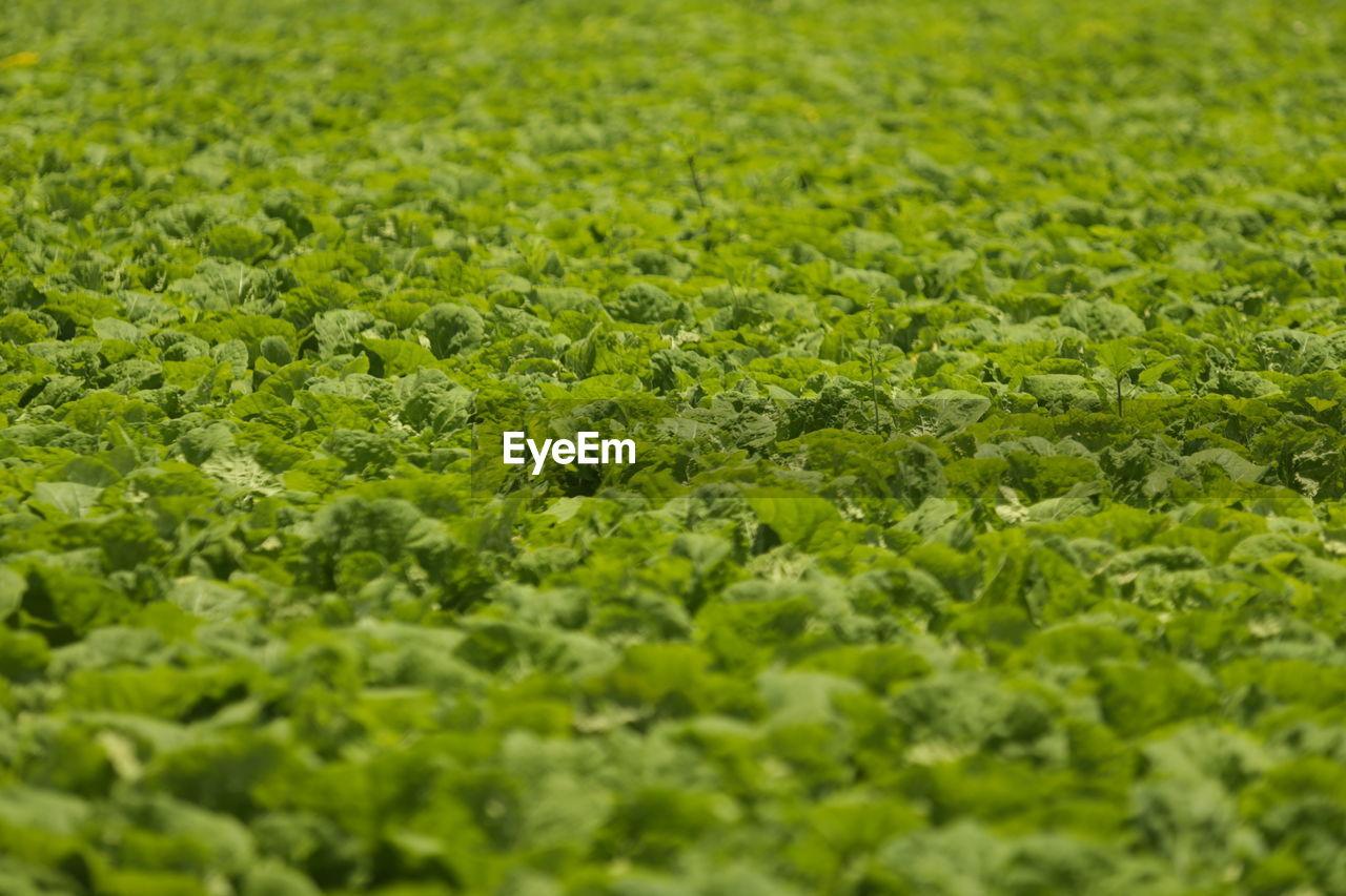 Full Frame Shot Of Leaf Vegetable Plantation