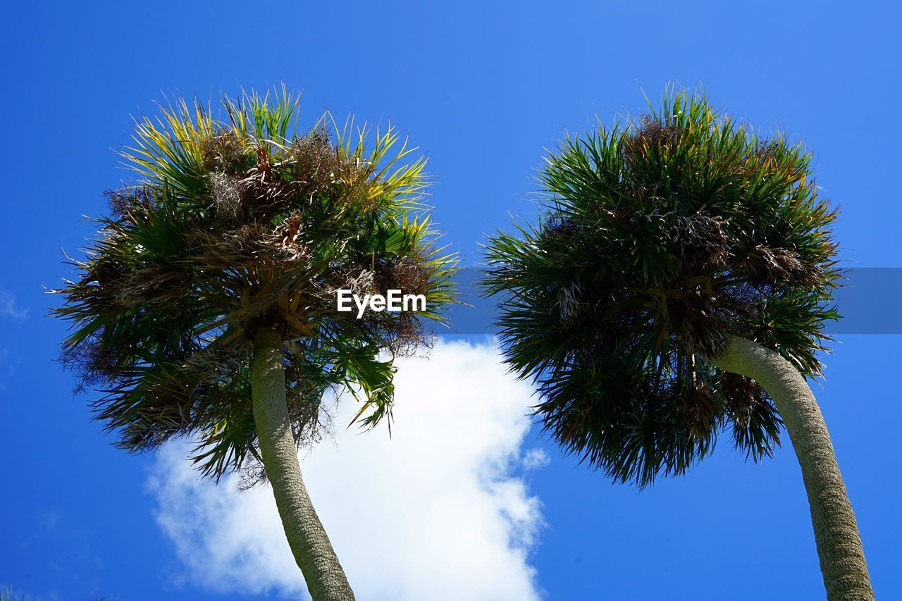 sky, tree, palm tree, plant, low angle view, tropical climate, blue, growth, no people, clear sky, nature, tree trunk, trunk, beauty in nature, day, tranquility, sunlight, outdoors, tall - high, sunny, tropical tree, palm leaf, coconut palm tree