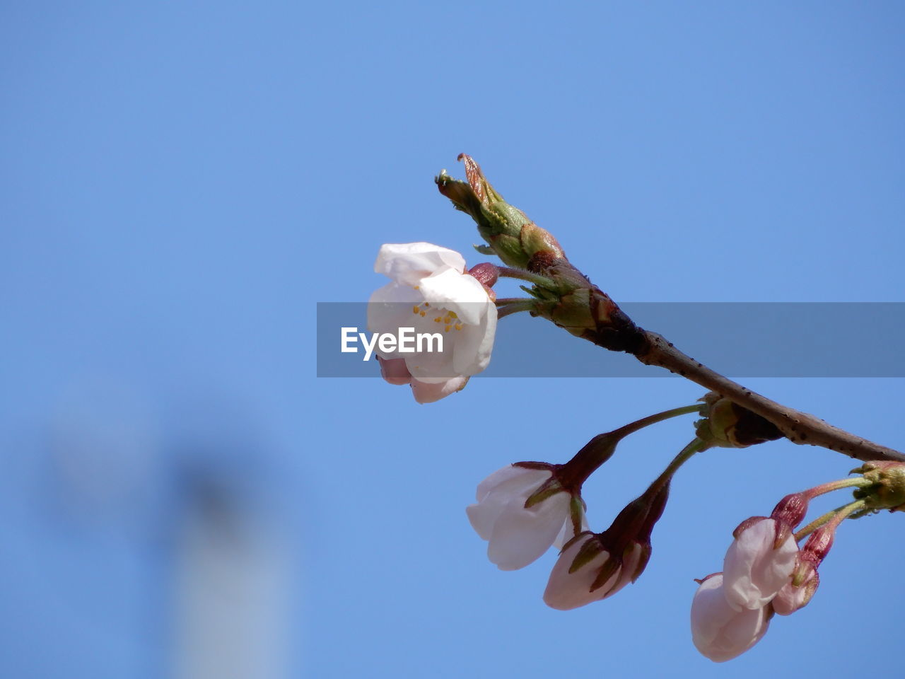 plant, flowering plant, flower, fragility, freshness, growth, vulnerability, beauty in nature, petal, nature, flower head, close-up, low angle view, sky, inflorescence, white color, day, focus on foreground, copy space, no people, springtime, outdoors, pollen, softness