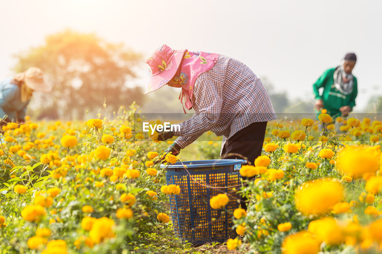 flowering plant, plant, flower, growth, field, freshness, nature, land, three quarter length, rural scene, adult, yellow, casual clothing, men, real people, selective focus, working, beauty in nature, day, agriculture, outdoors, gardening, farmer