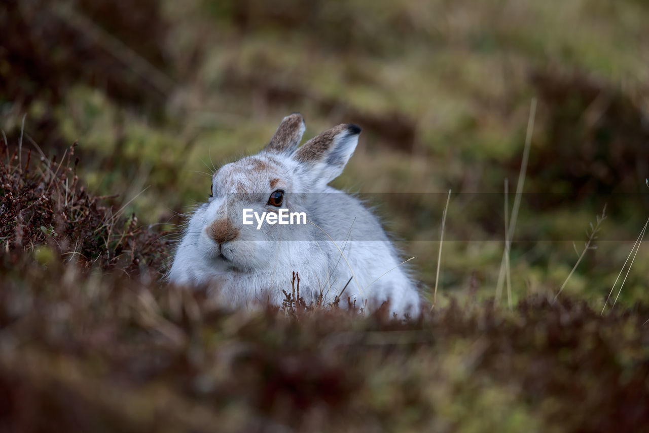 animal themes, one animal, mammal, animal, selective focus, plant, land, field, animal wildlife, no people, day, vertebrate, nature, animals in the wild, grass, close-up, rodent, pets, domestic animals, portrait, herbivorous, whisker