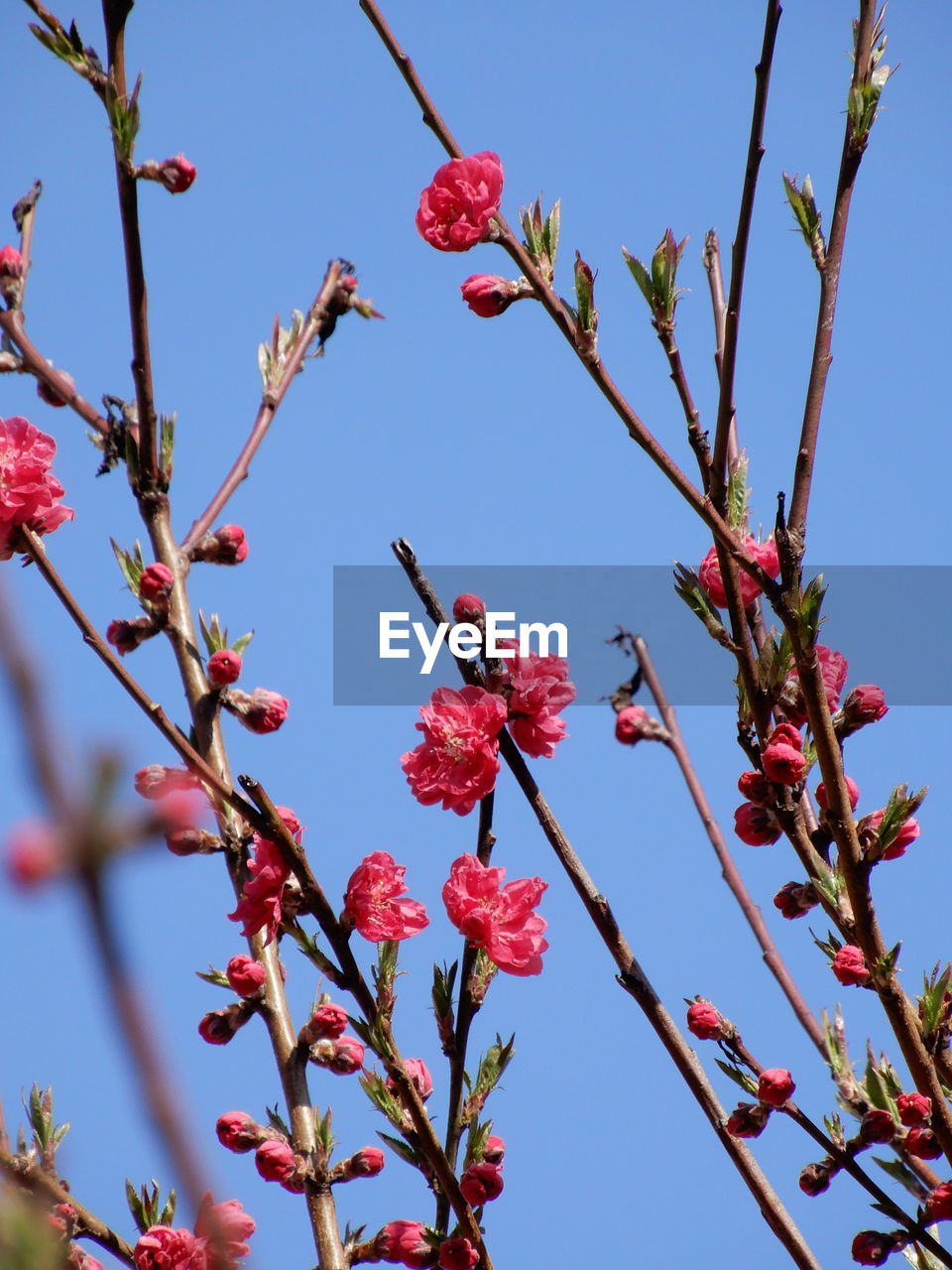 plant, growth, low angle view, flower, tree, freshness, sky, flowering plant, beauty in nature, red, nature, fragility, no people, branch, vulnerability, close-up, day, blossom, petal, springtime, outdoors, flower head, cherry tree, spring