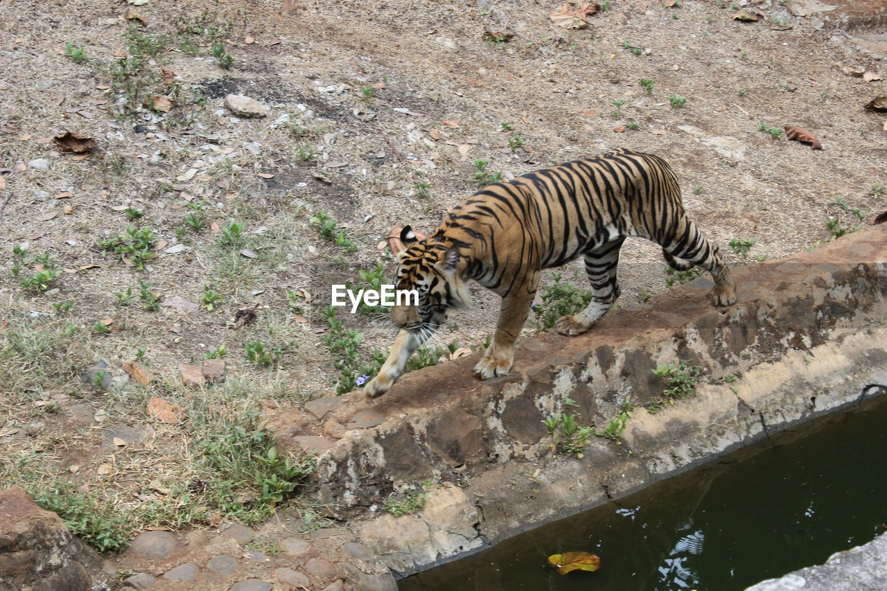High angle view of tiger walking by gutter