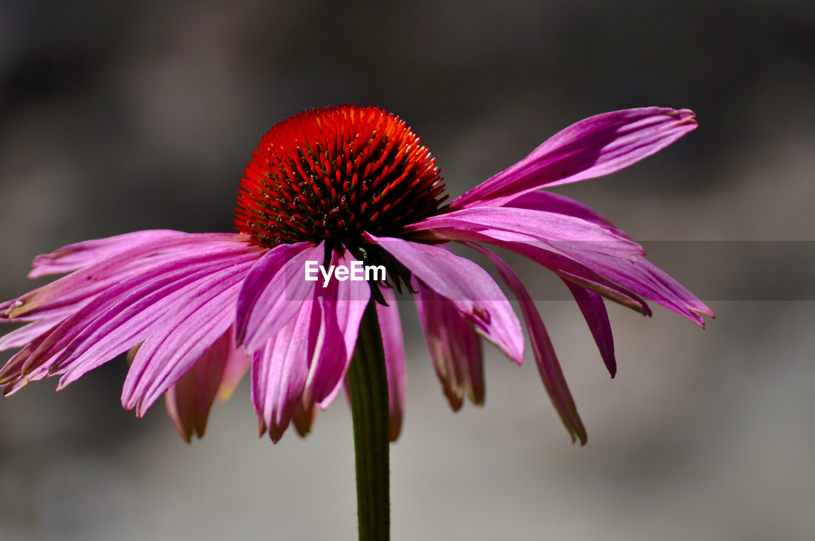 Close-up of eastern purple coneflower blooming at park
