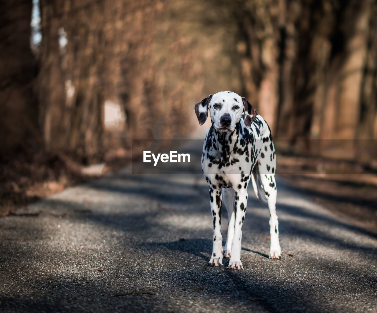 one animal, mammal, animal themes, animal, dalmatian dog, domestic animals, dog, pets, canine, vertebrate, domestic, spotted, focus on foreground, day, road, no people, animal markings, full length, nature, motion
