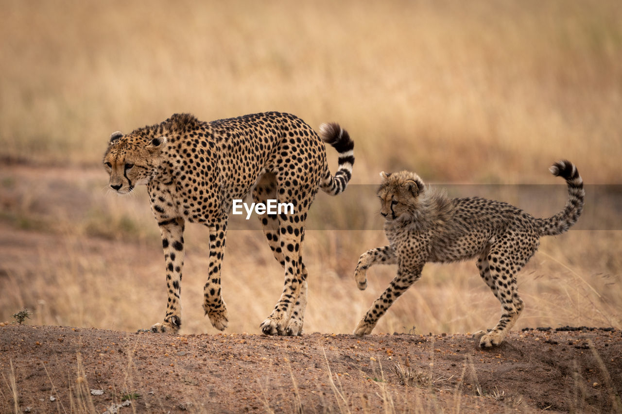 cat, animals in the wild, animal, animal wildlife, big cat, mammal, feline, animal themes, cheetah, group of animals, spotted, vertebrate, no people, carnivora, safari, focus on foreground, day, nature, undomesticated cat, animal family