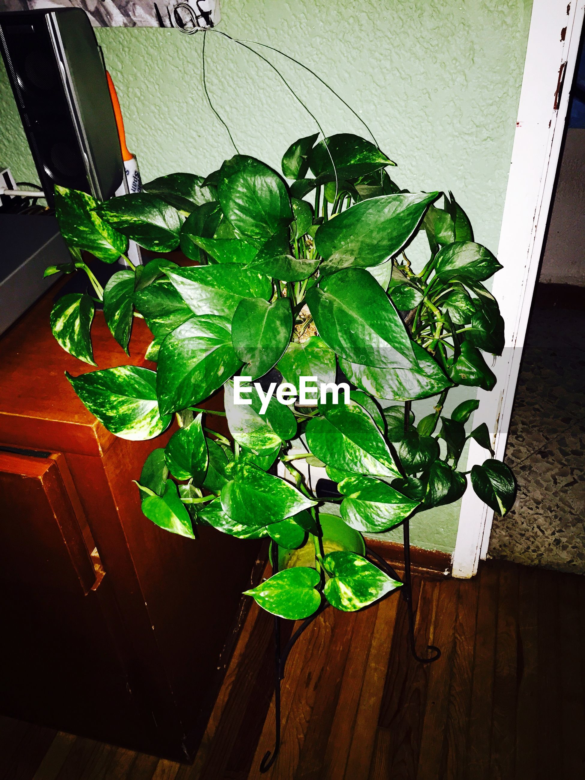 High angle view of epipremnum growing at home