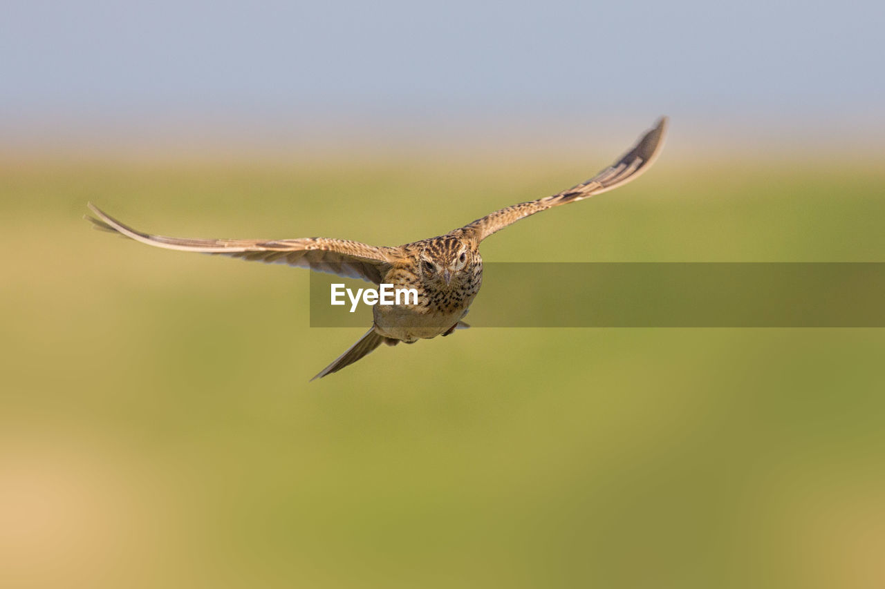 animal wildlife, one animal, animals in the wild, animal themes, animal, flying, vertebrate, spread wings, bird of prey, bird, mid-air, nature, no people, sky, day, clear sky, outdoors, focus on foreground, motion, beauty in nature, eagle