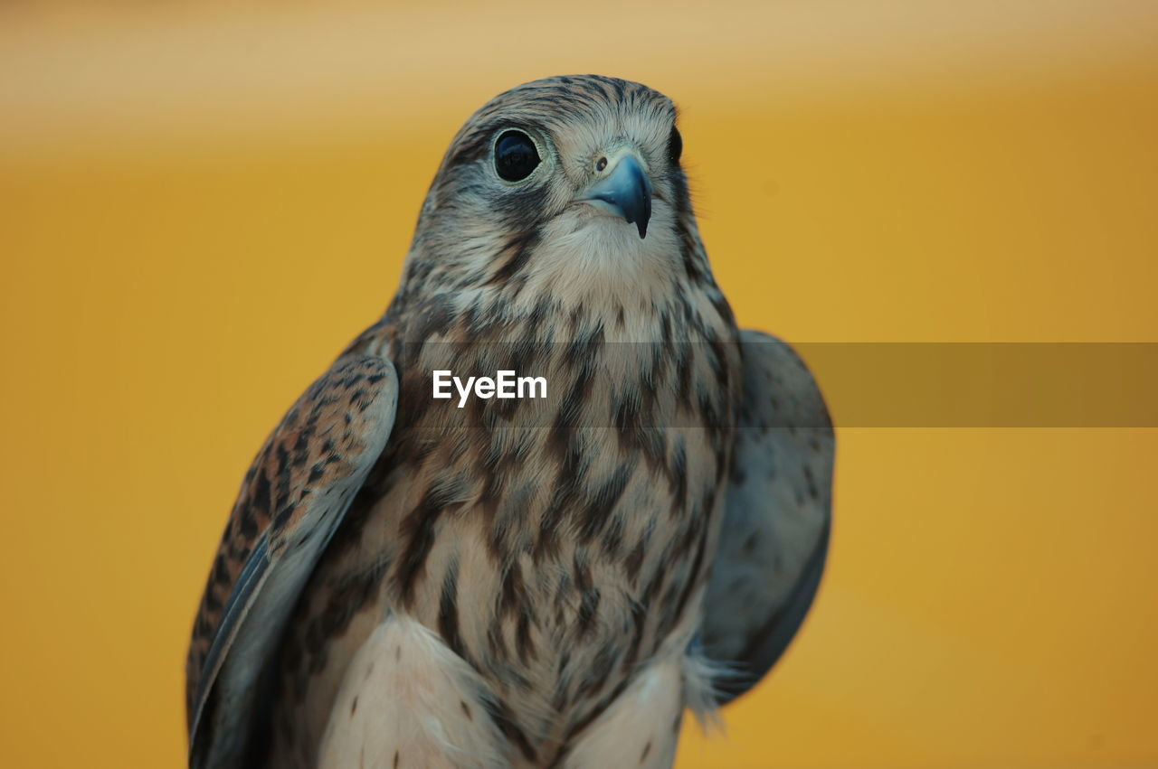 Close-up of falcon against yellow background