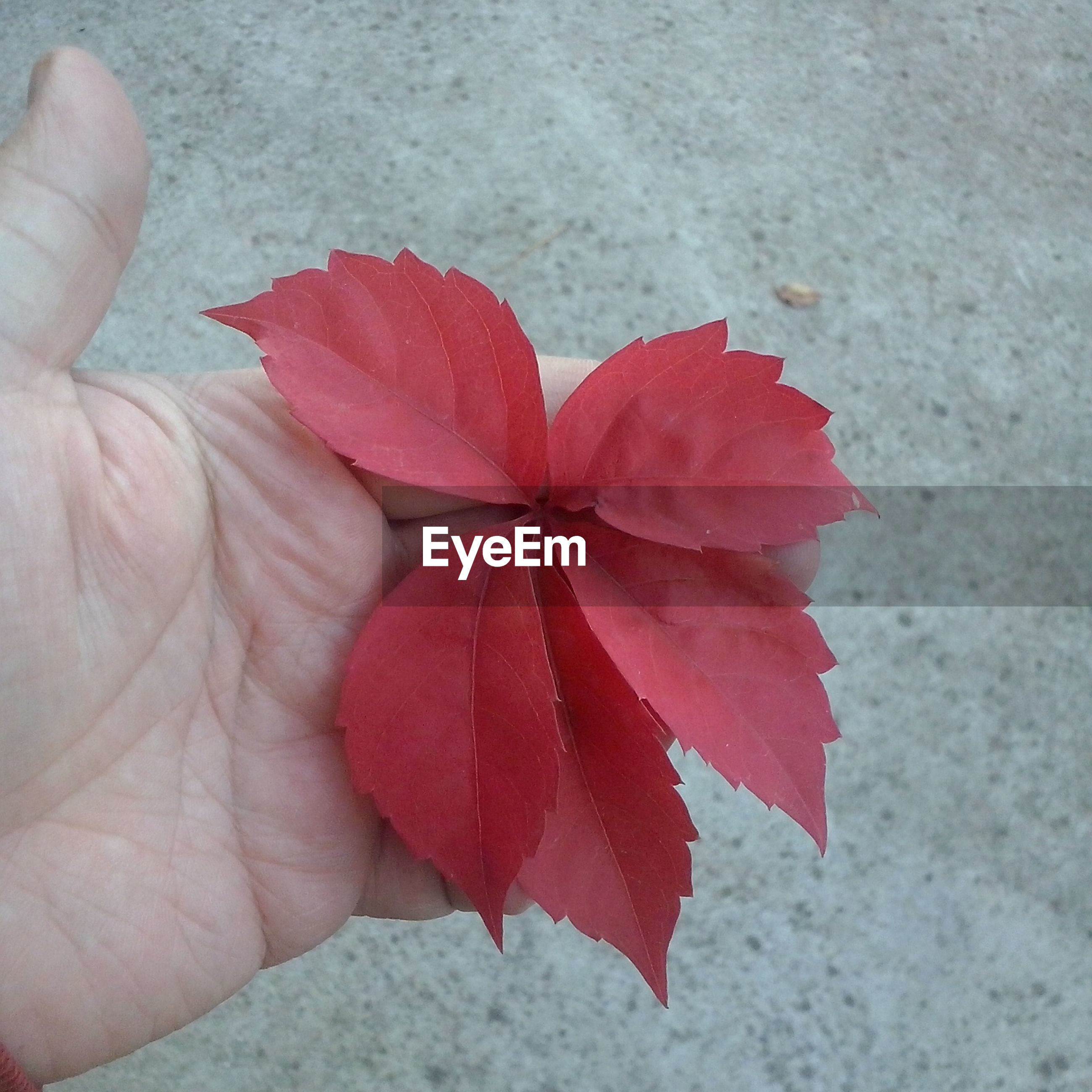 person, leaf, holding, red, part of, autumn, unrecognizable person, close-up, dry, season, cropped, change, human finger, high angle view, fragility, nature, day
