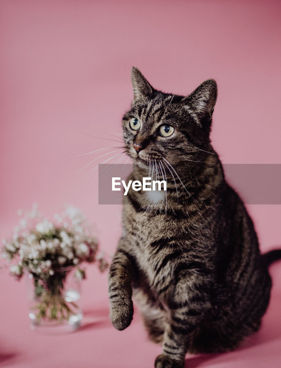 Close-up of a cat in front of clean background