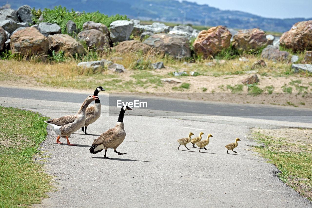 Canada geese walking on street