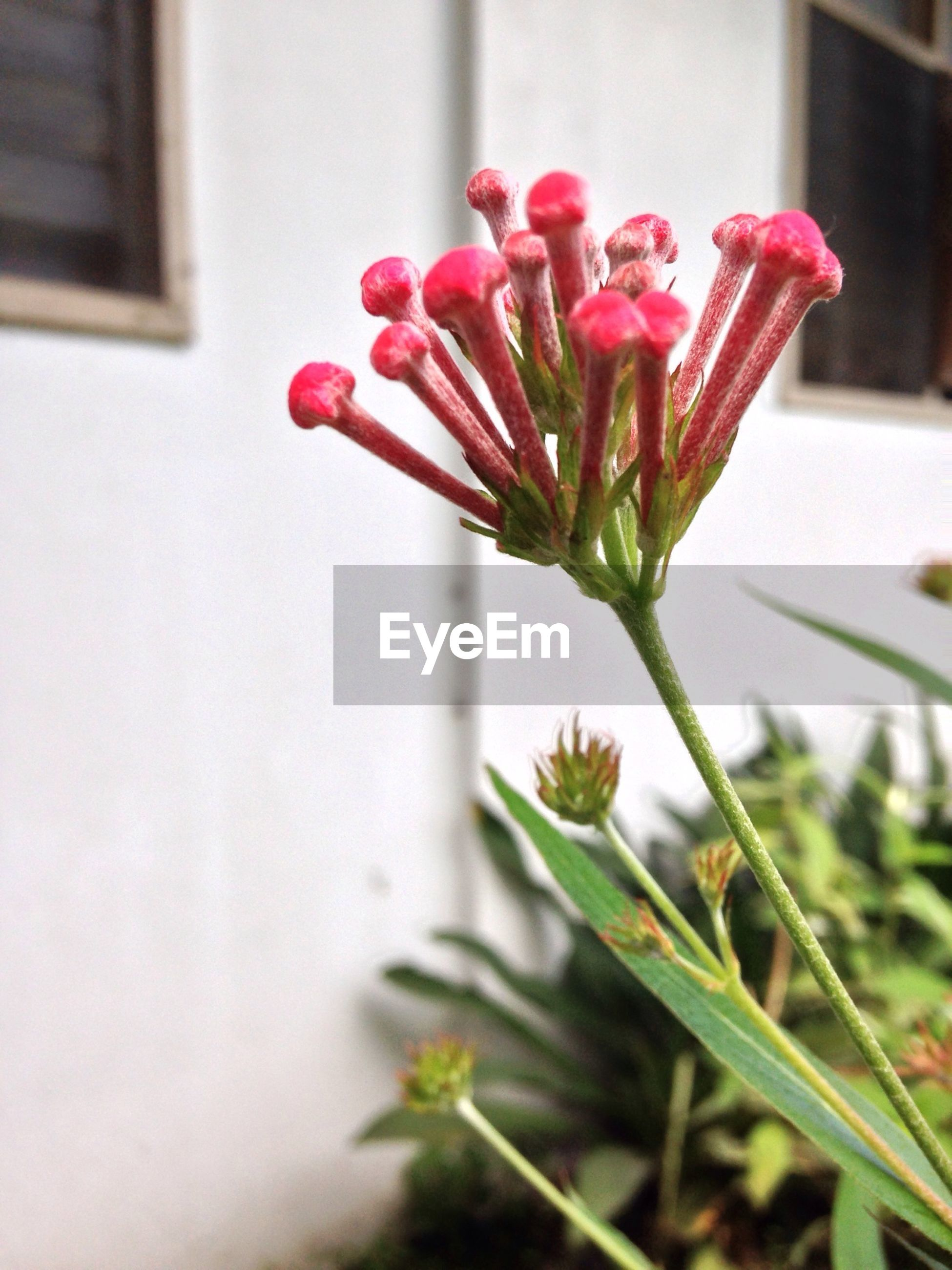 flower, petal, fragility, freshness, flower head, growth, stem, plant, close-up, beauty in nature, focus on foreground, nature, indoors, potted plant, blooming, pink color, bud, single flower, leaf, selective focus