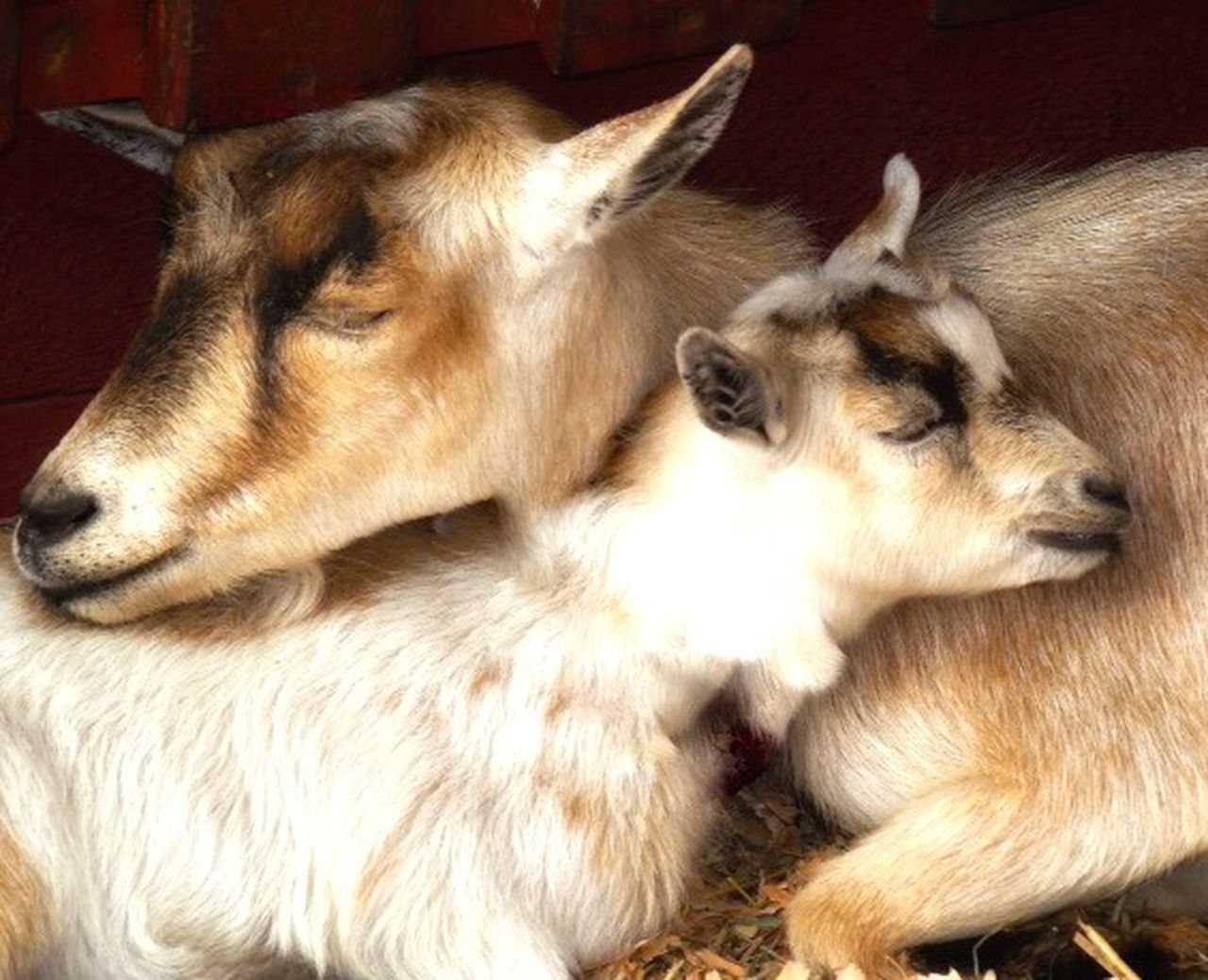 animal, animal themes, mammal, group of animals, domestic animals, pets, domestic, vertebrate, two animals, relaxation, young animal, no people, togetherness, livestock, close-up, indoors, resting, sleeping, animal body part, animal head, animal family, herbivorous