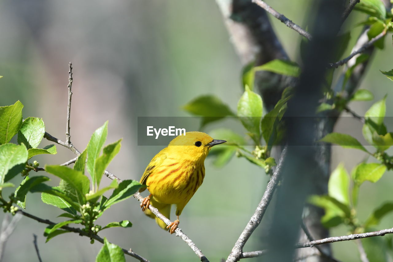 bird, vertebrate, animal themes, animal, animal wildlife, animals in the wild, perching, plant, one animal, yellow, nature, tree, day, focus on foreground, branch, no people, outdoors, green color, leaf, beauty in nature