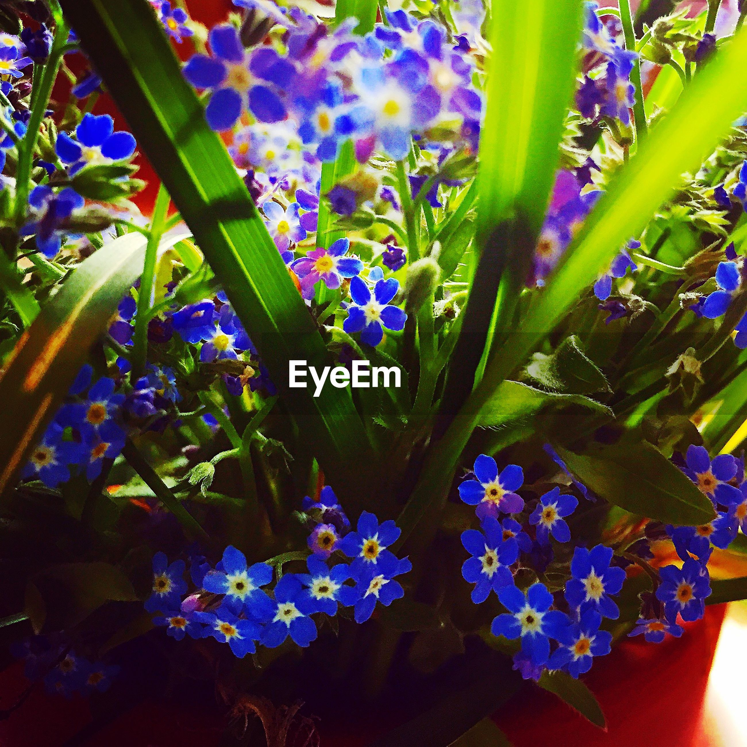 flower, purple, freshness, growth, fragility, petal, plant, beauty in nature, blue, flower head, nature, blooming, leaf, in bloom, close-up, botany, blossom, potted plant, stem, springtime